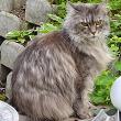 cat maincoon