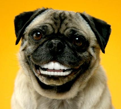 Smiling pug