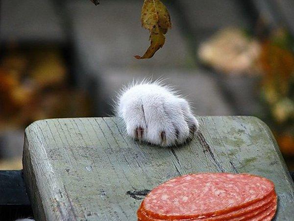 Cat Stealing Ham