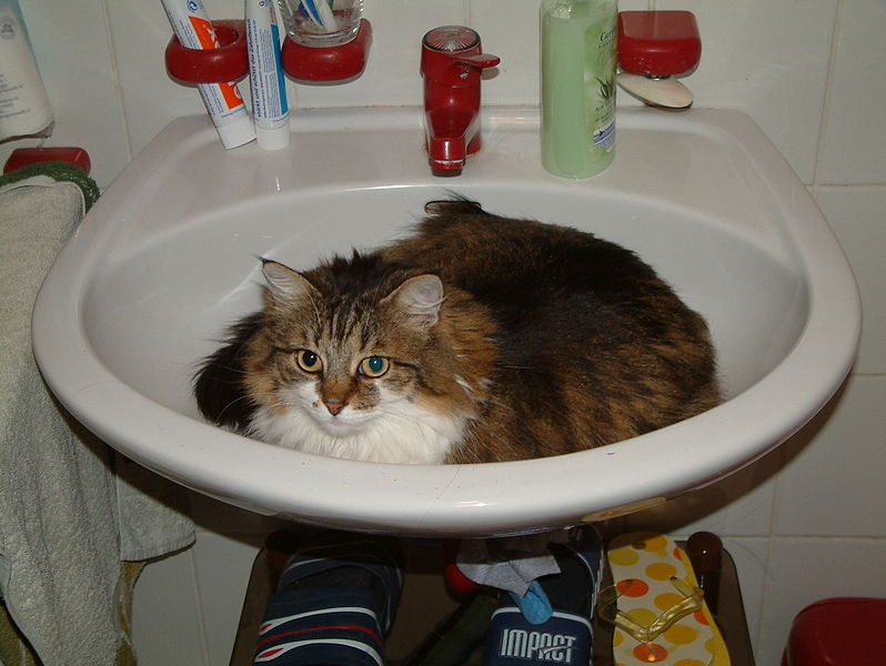 Maine Coon cats love water. This particular cat wouldn't mind it if you turned the faucet on. Photo by WolfgangE Wikimedia Commons.